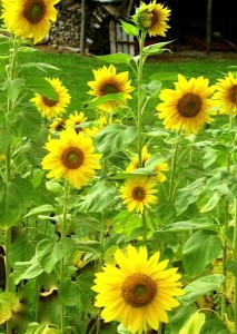 augustsunflowers2